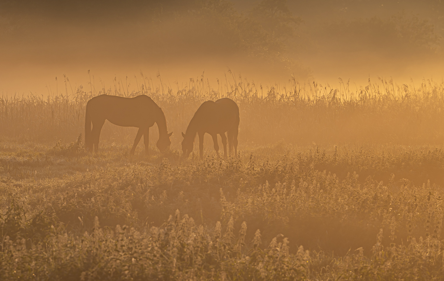 Horses in early morning sun by Torsten Sasse