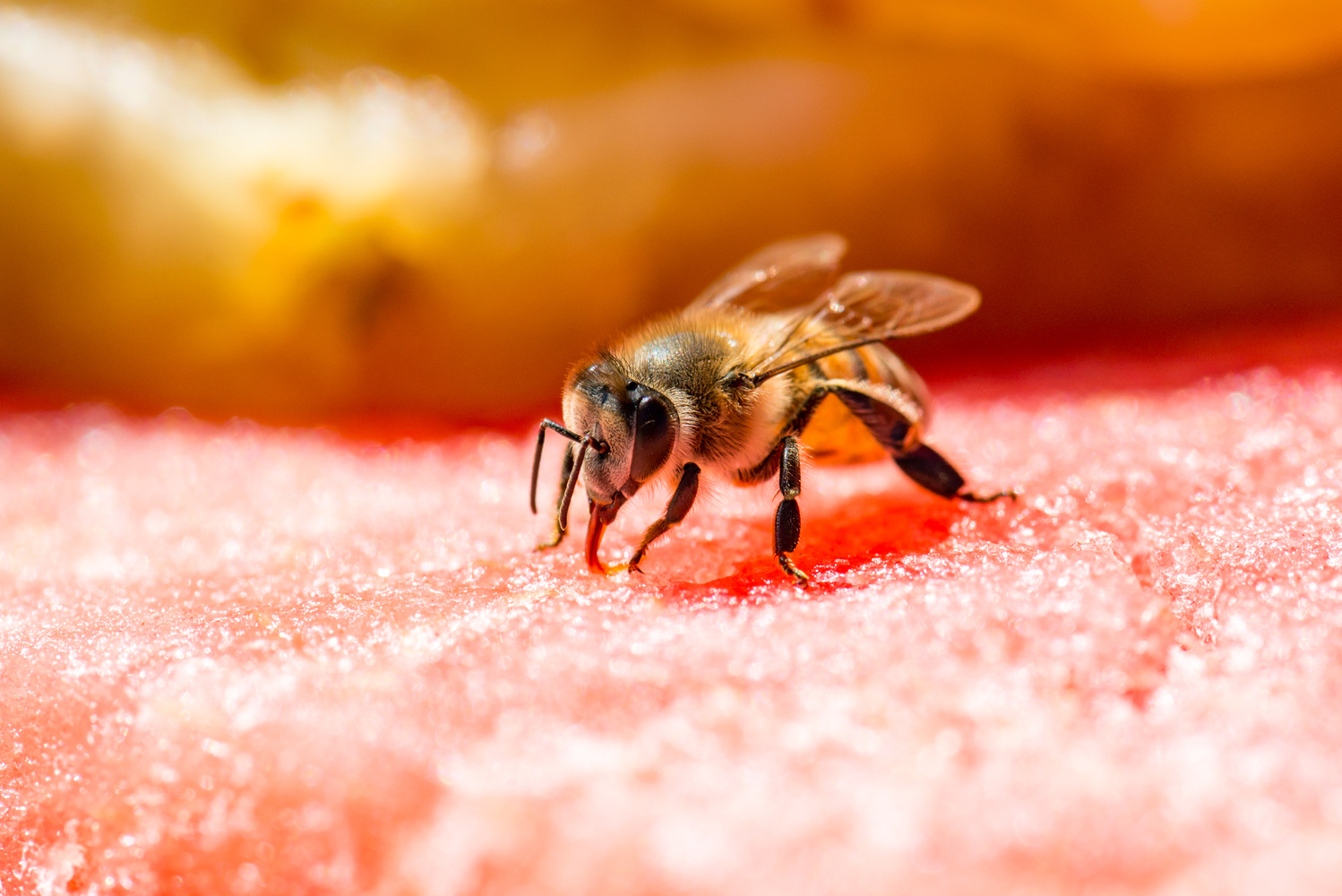 Bee Drinking From Watermelon by Ryan Rees