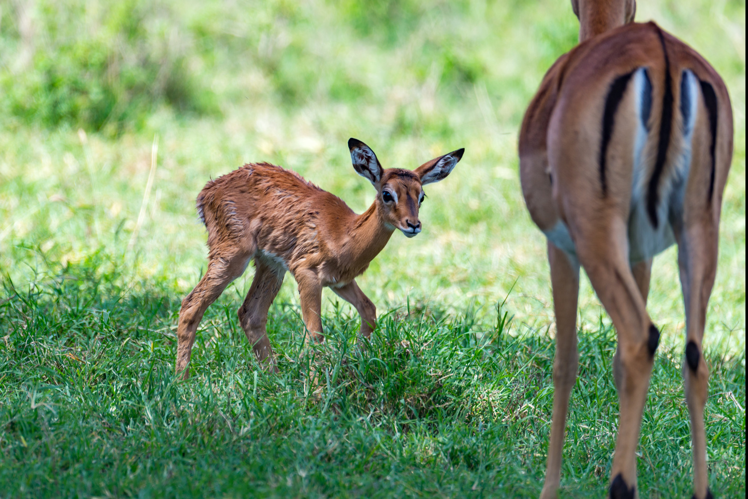 Baby Gazelle Taking First Steps by Ryan Rees