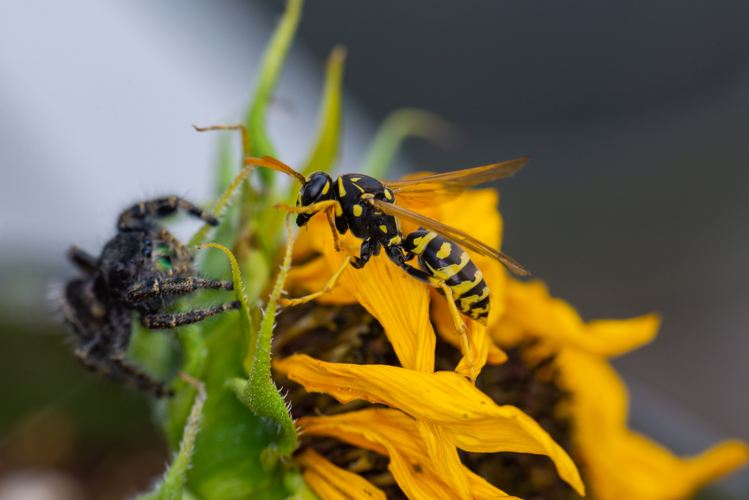 Spider Attacking a Wasp by Ryan Rees