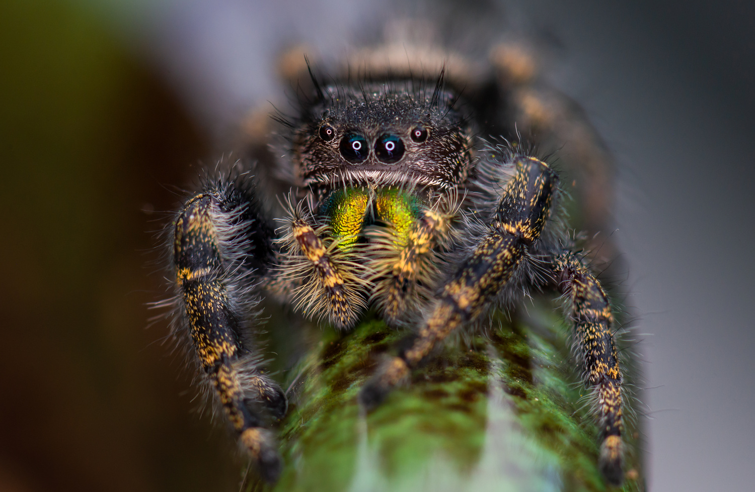 Jumping Spider in the Yard by Ryan Rees