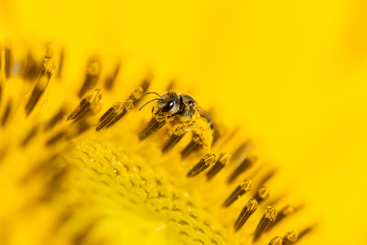 Bee in Yellow Flower by Ryan Rees
