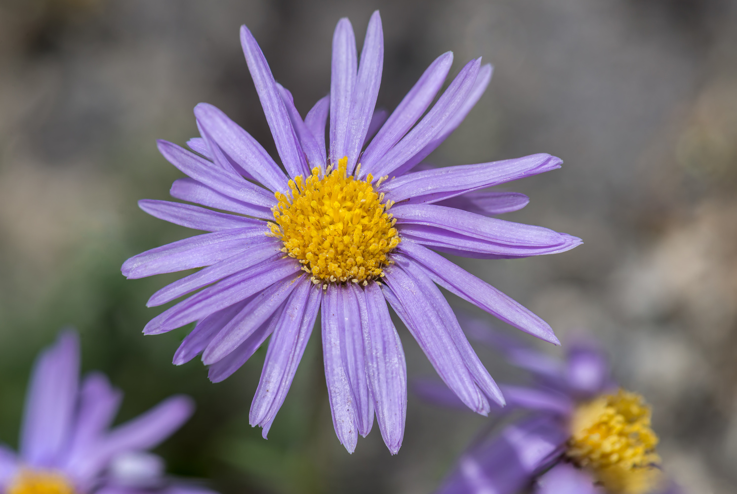 Wild Colorado Aster by Ryan Rees