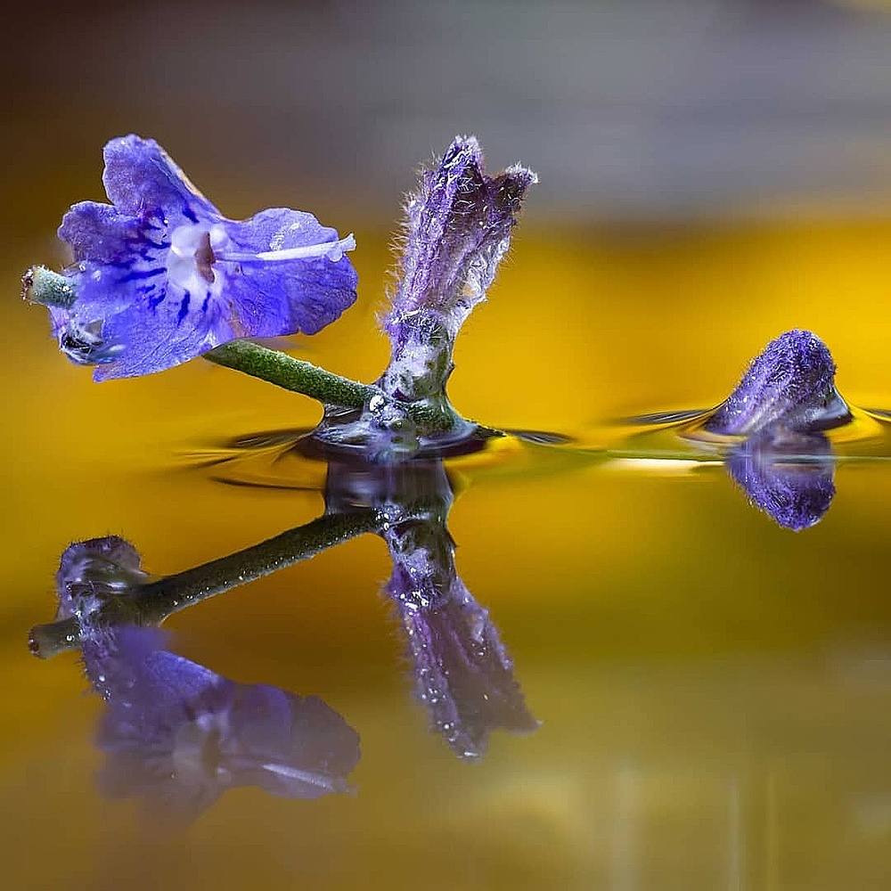 Russia Sage in Water by Ryan Rees