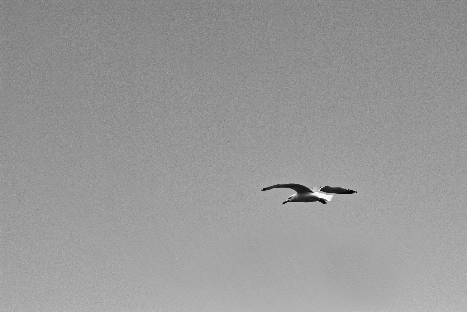Solo Gull by Mike Young