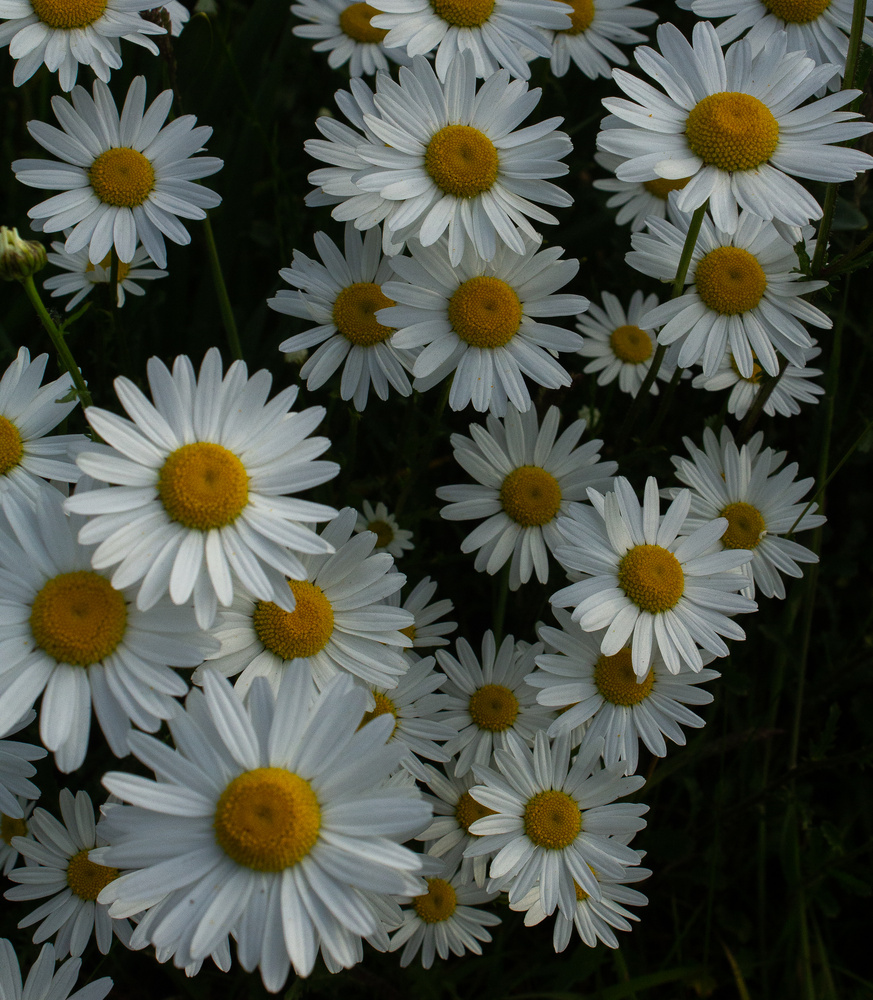 Daisy patch by Mike Young