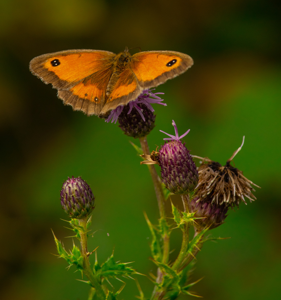 Common Brown, somehow more beautiful close up by Mike Young