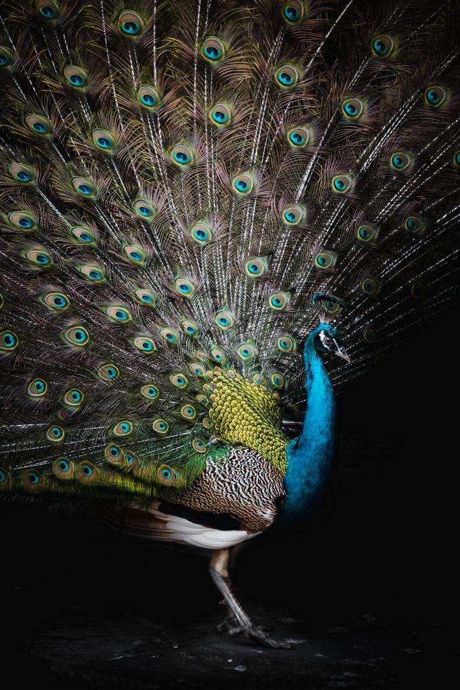 Dance of the peacock by Calum Kozma