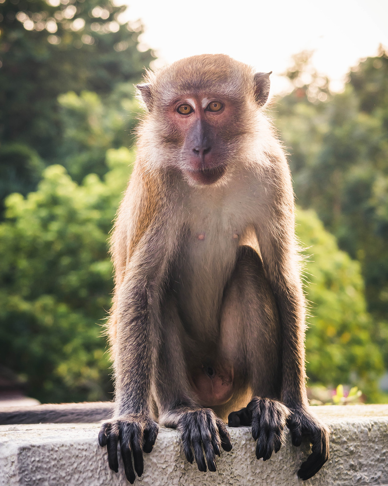 Singapore Macaque by Calum Kozma