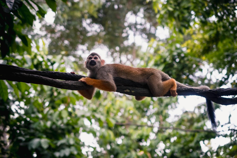 squirrel monkey relaxing by Calum Kozma