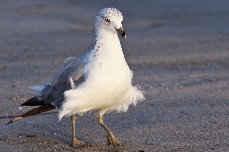 Seagull Fuffy Mating dance by Joseph hijuelos