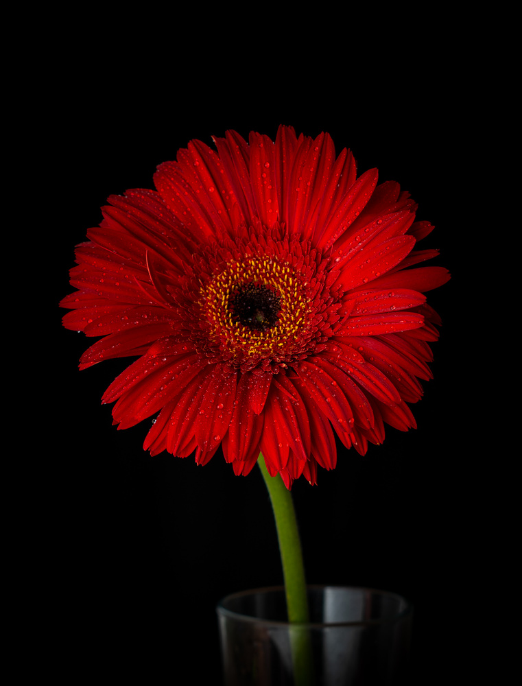 Red Gerbera Daisy by Tihomir Dubic