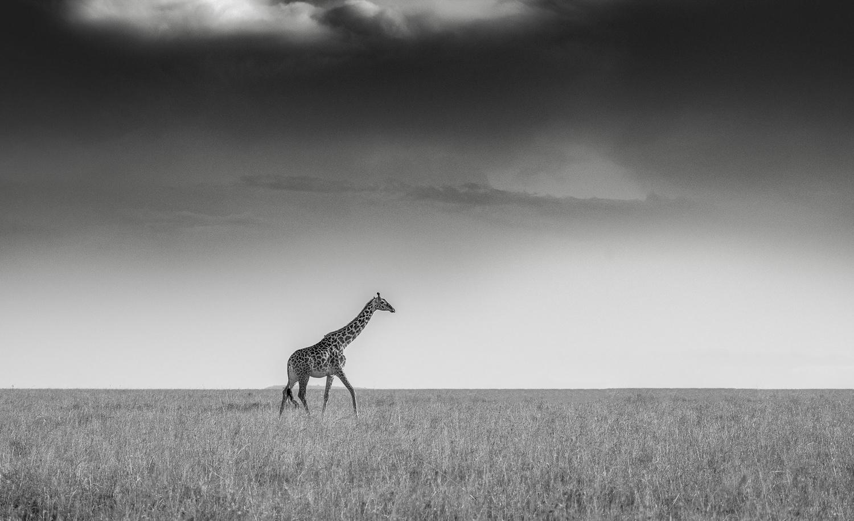 Just a Giraffe by Dalida Innes