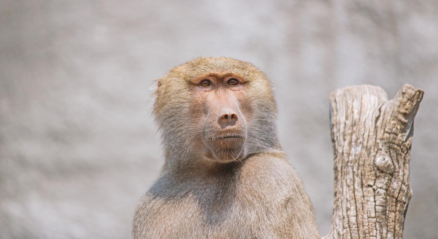 pavian monkey by Robert Tas