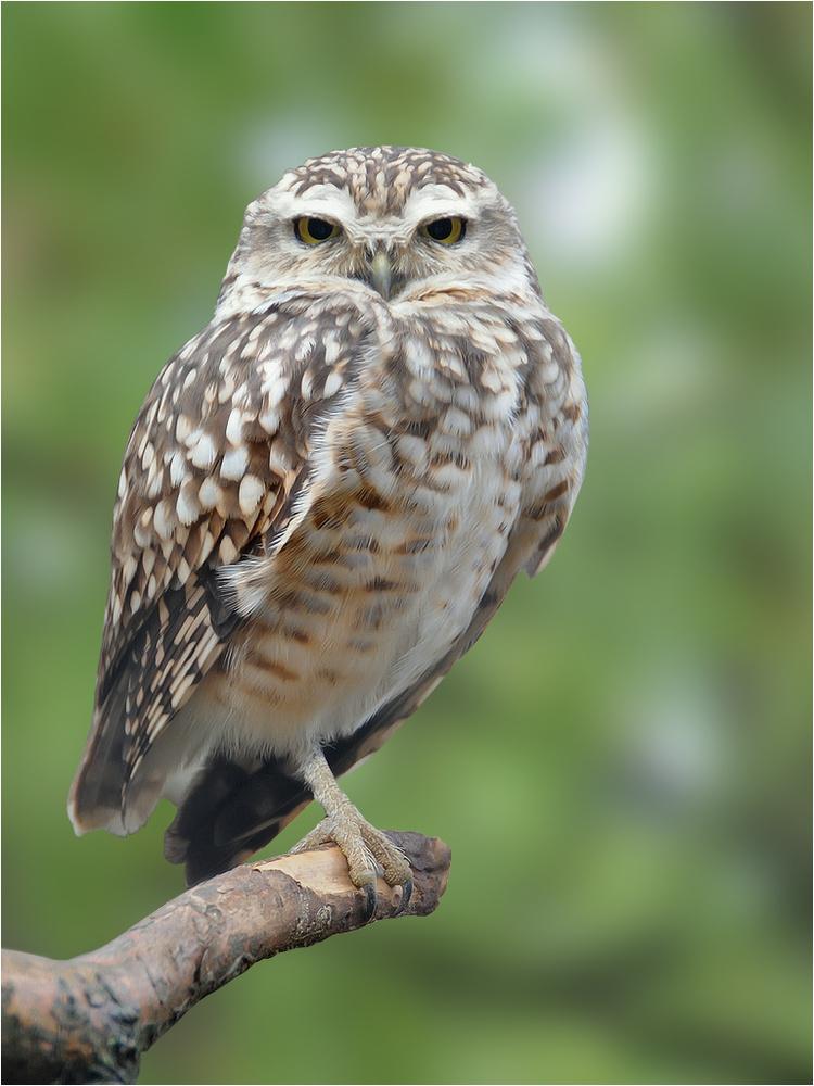 Owl by Haike Lin