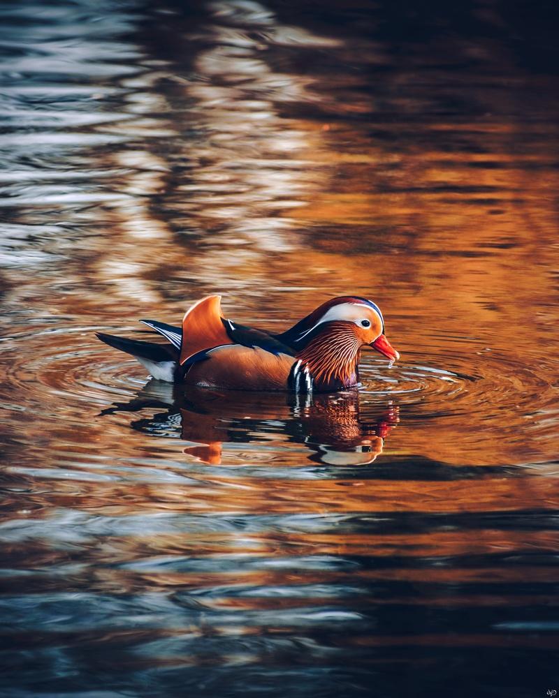 Mandarin Duck, Lazienki Park, Warsaw, Poland by Nickolas Koursioumpas