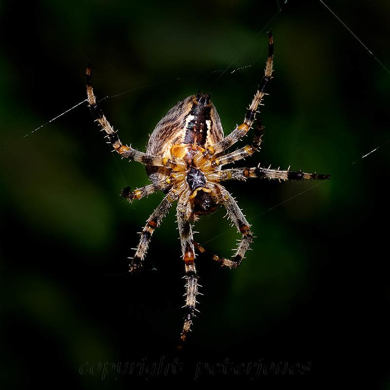 Orb Spider. by Peter Jones