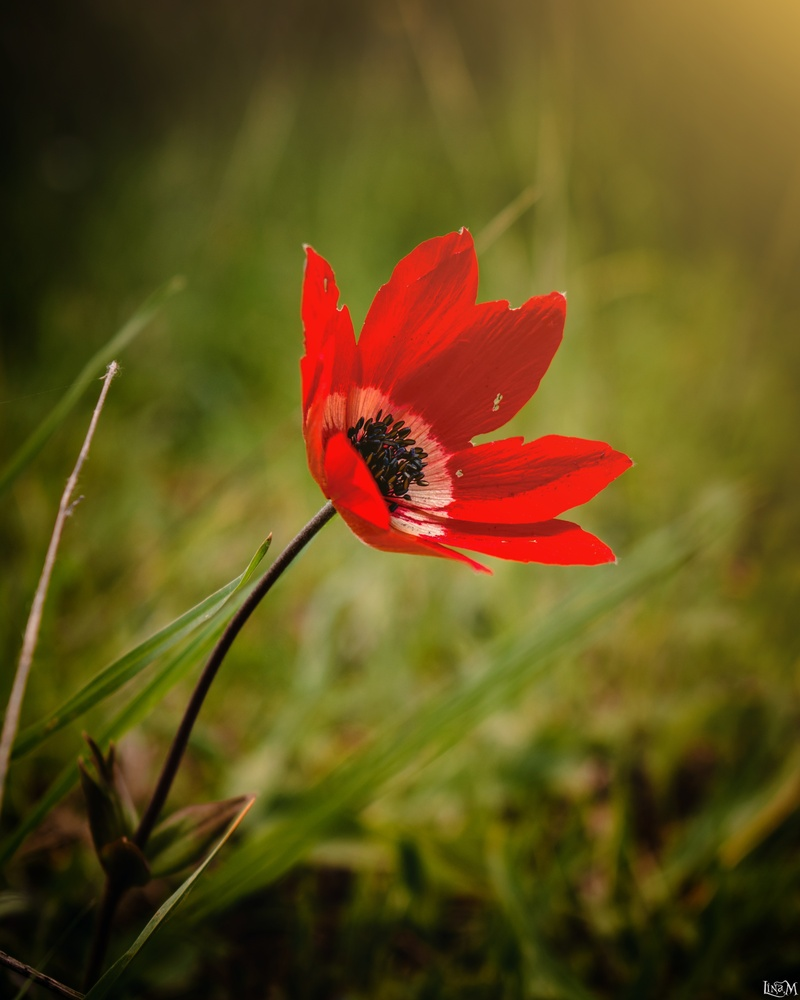 Red Poppy in Karditsa by Lina Magoula