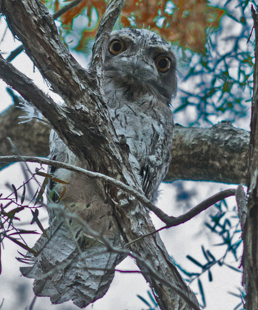Tawny Frogmouth Owl by Bruce Pryde