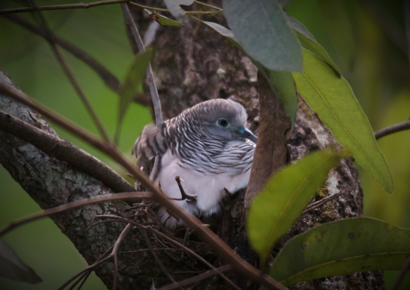 Dove on her nest by Bruce Pryde