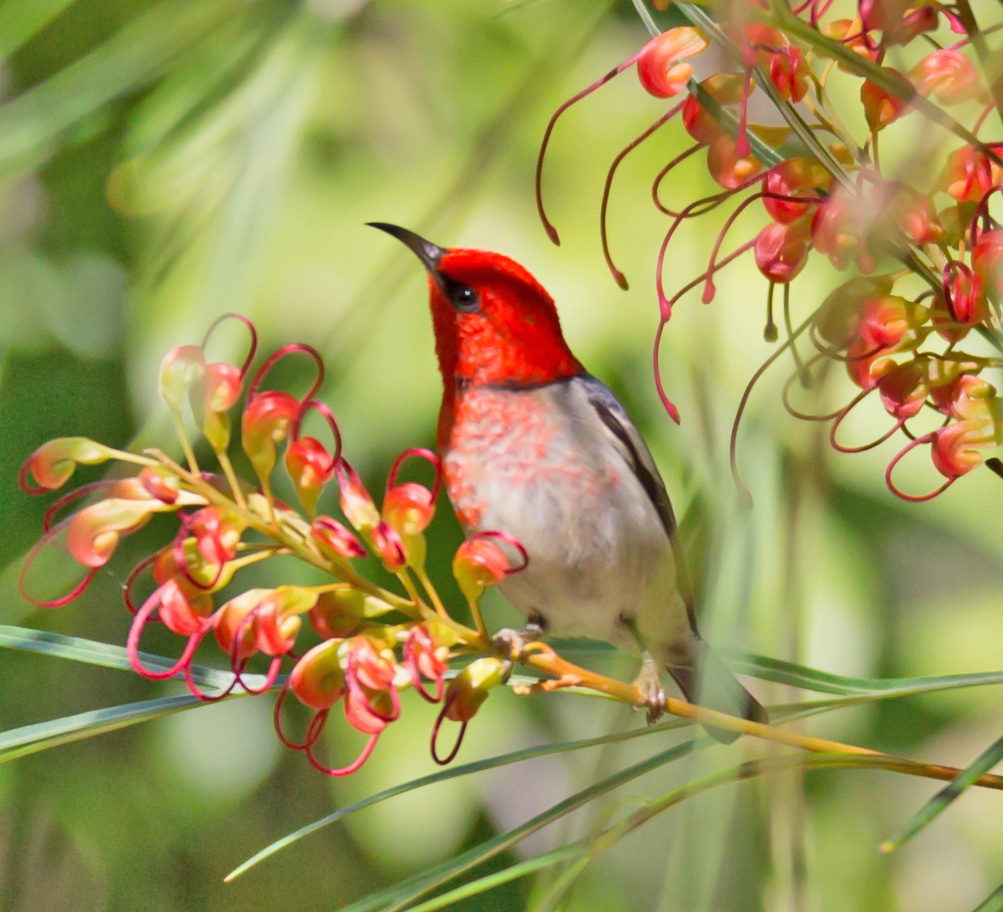 Crimson Chat by Bruce Pryde