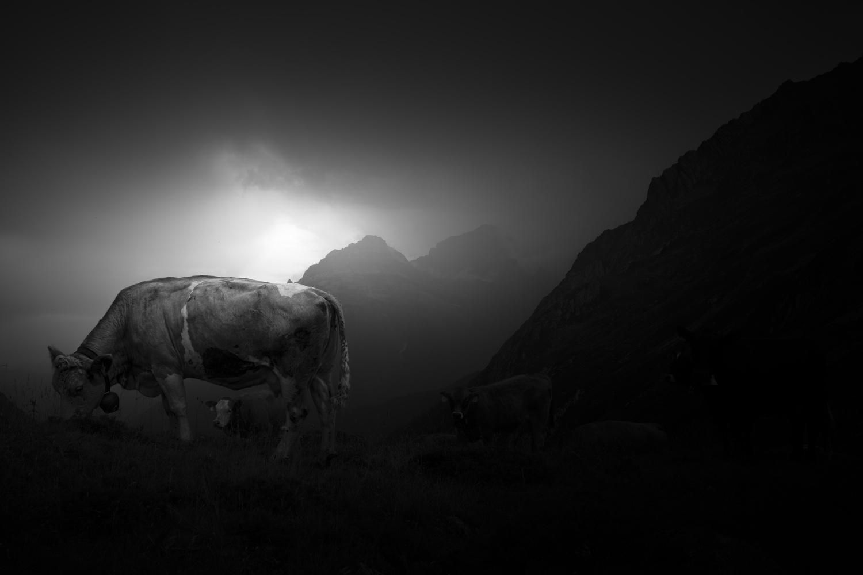 Holy Cow by Daniel Michels
