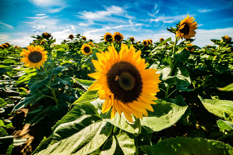 Sunflower fields forever by Matt Wasserman