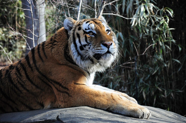 Siberian Tiger by Matt Wasserman