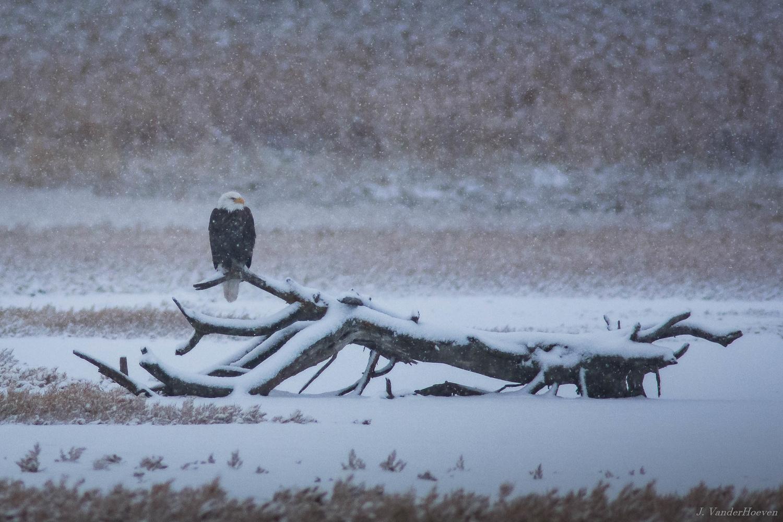 Snow Eagle by Jake VanderHoeven