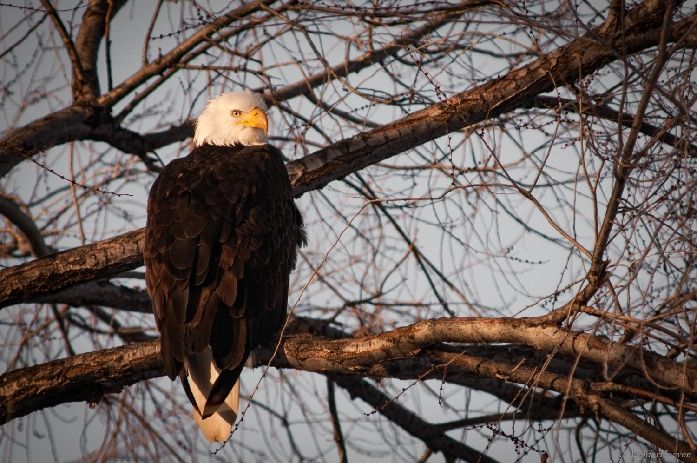 Morning Eagle by Jake VanderHoeven