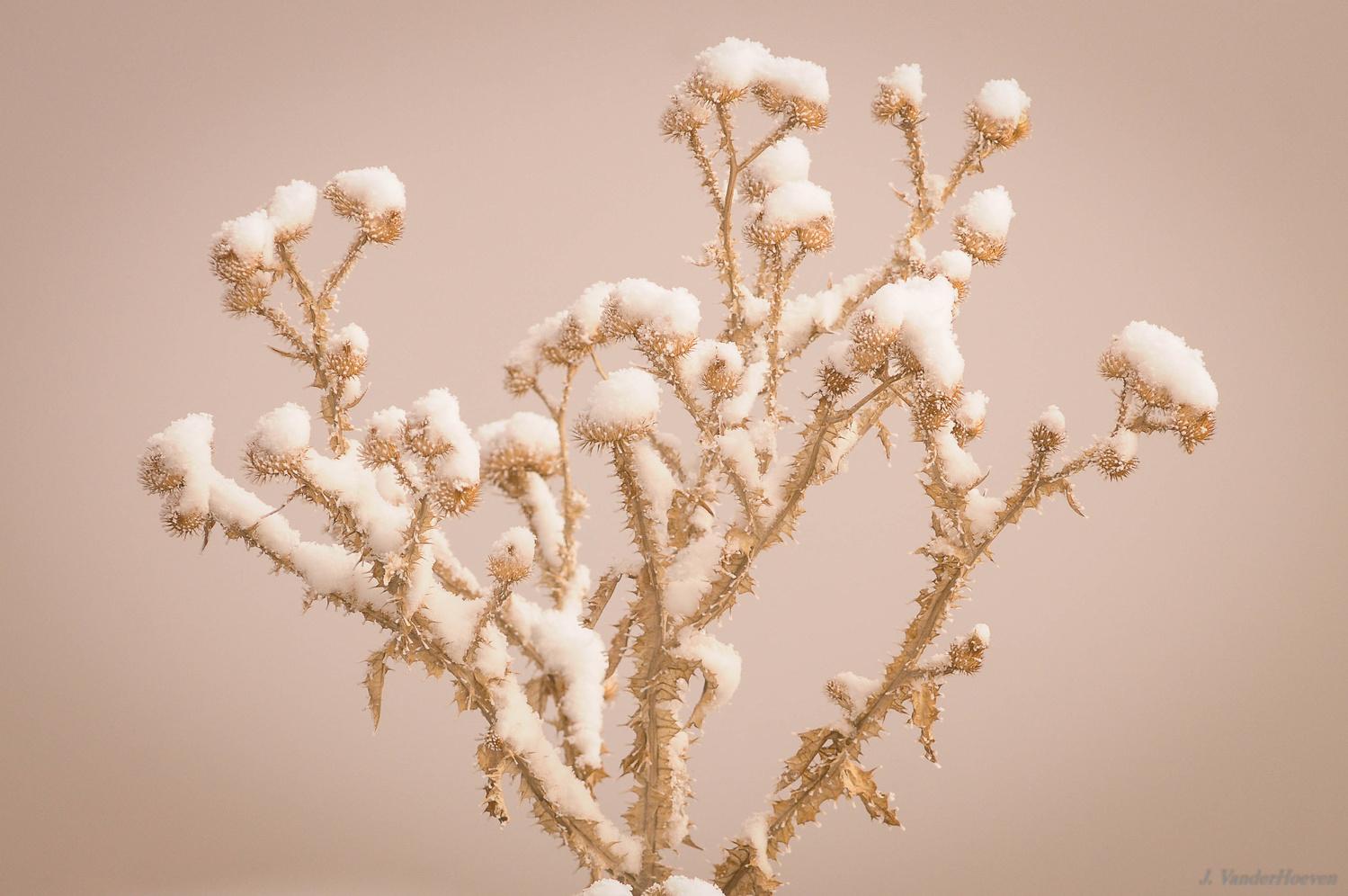 Snow on Milk Thistles by Jake VanderHoeven