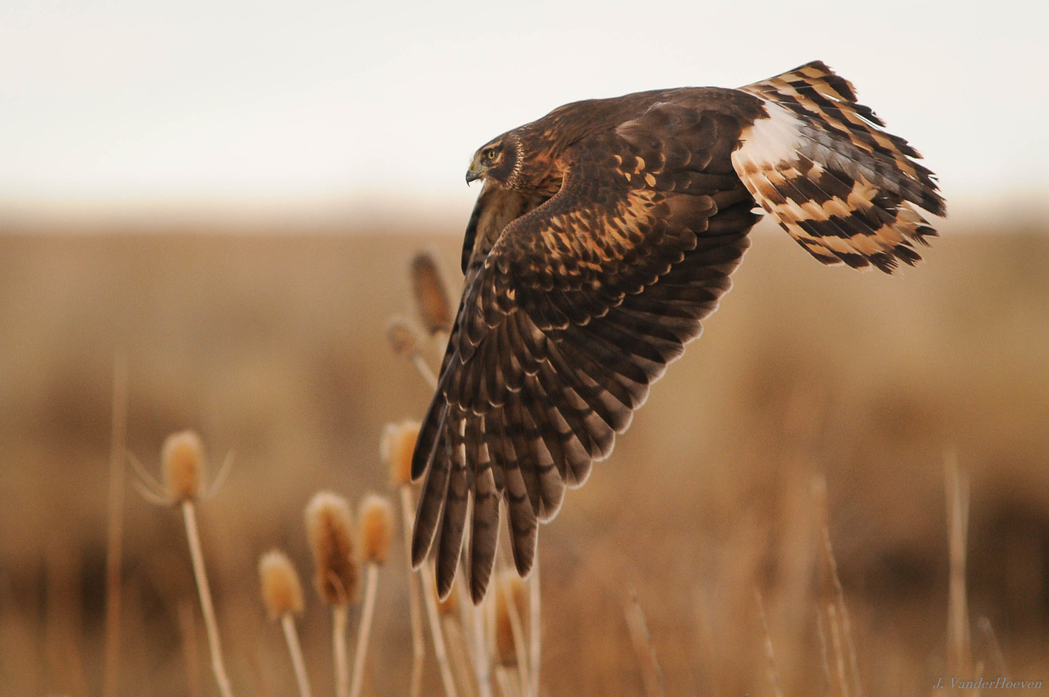 Northern Harrier by Jake VanderHoeven