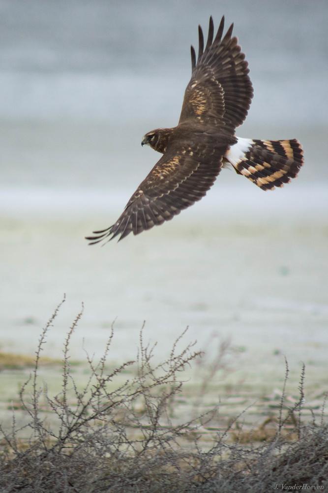 Harrier Flight by Jake VanderHoeven