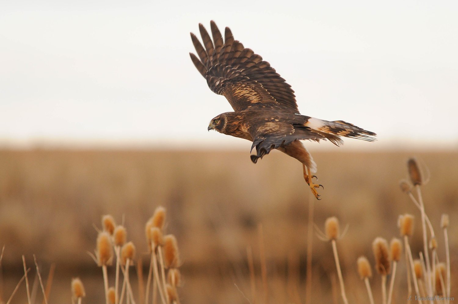 The Northern Harrier by Jake VanderHoeven