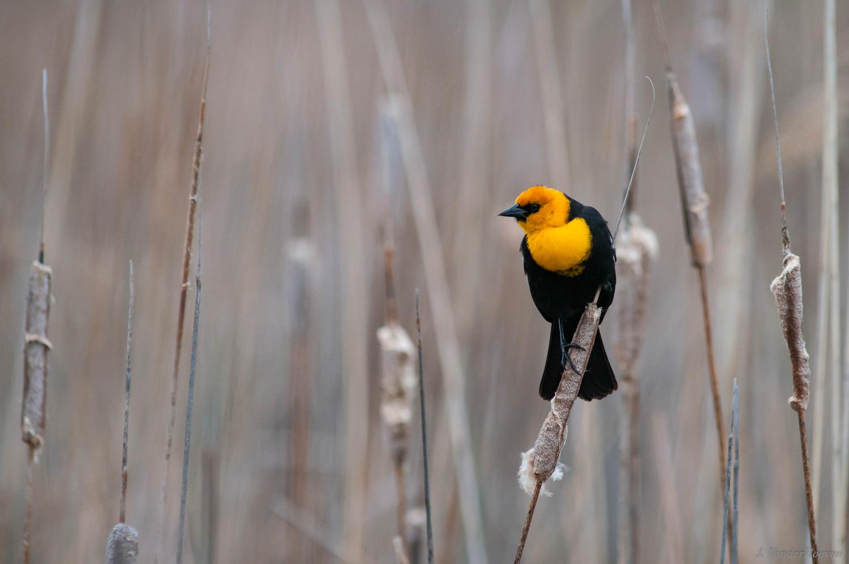 Spring Yellow by Jake VanderHoeven