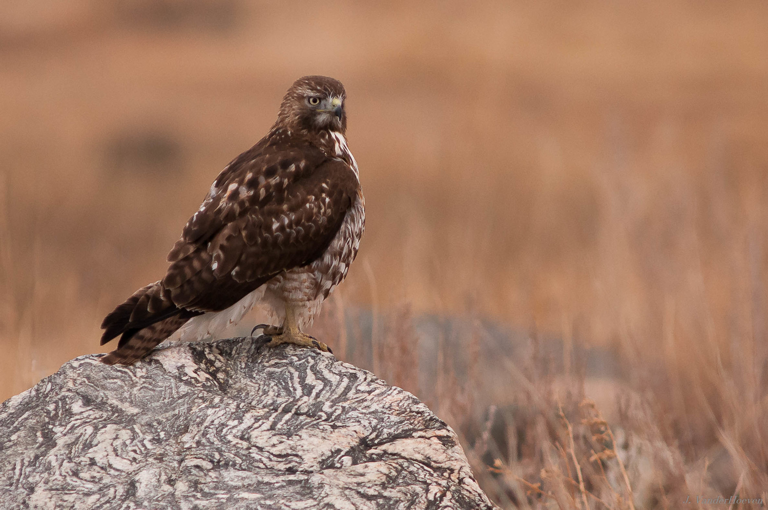 Red Tail Hawk by Jake VanderHoeven