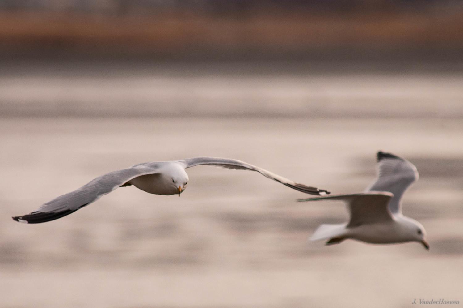 Gulls by Jake VanderHoeven