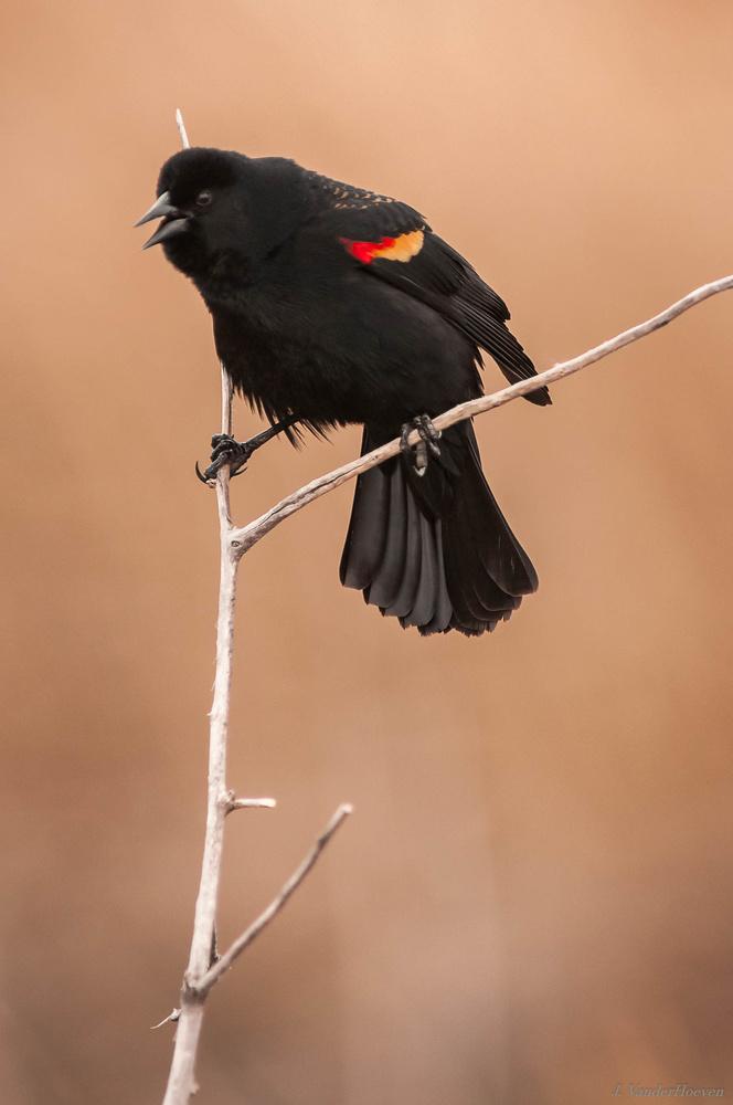Blackbird by Jake VanderHoeven