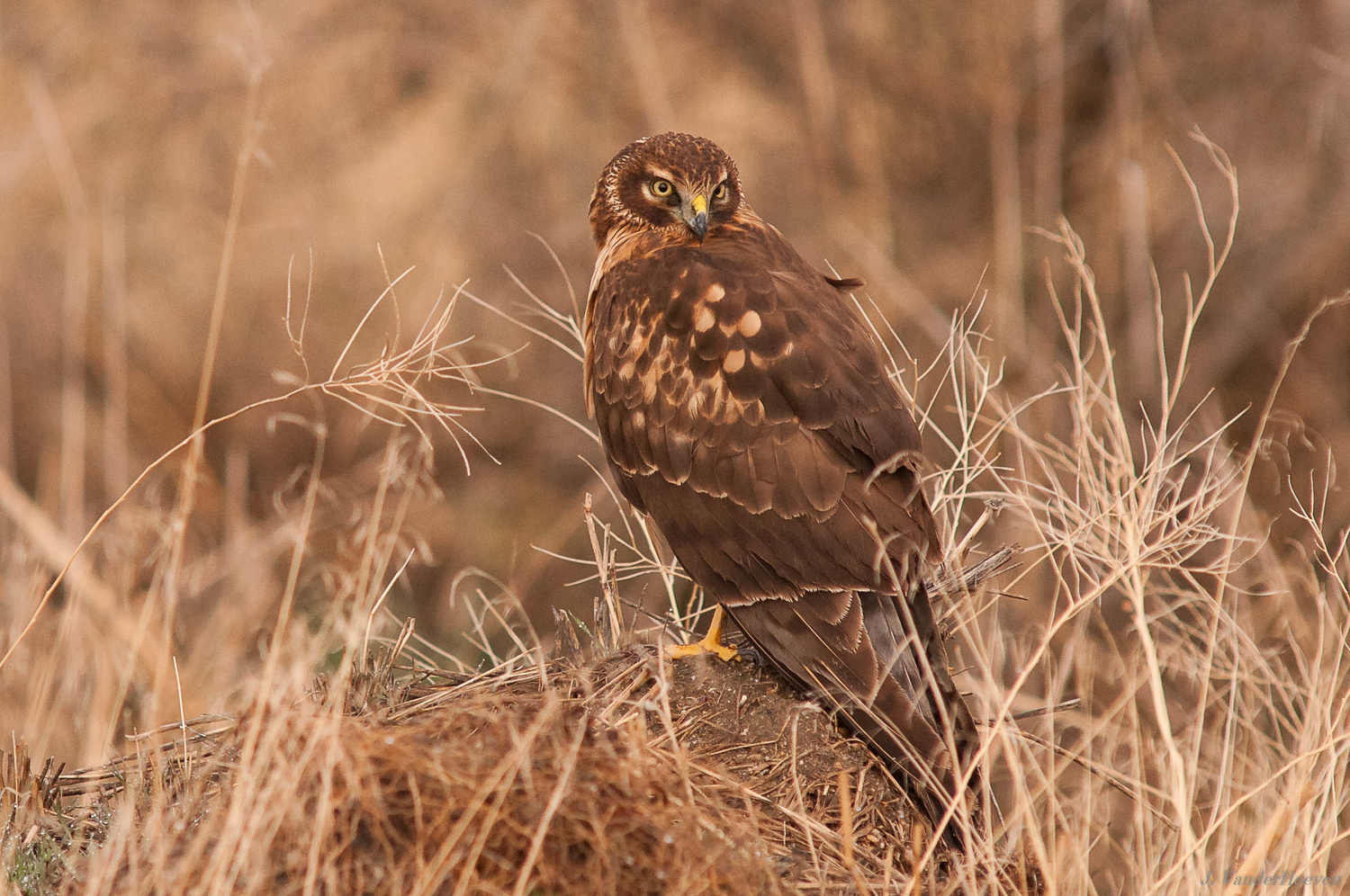 Marsh Hawk by Jake VanderHoeven