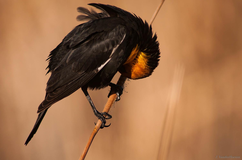 Yellow-Headed Blackbird by Jake VanderHoeven