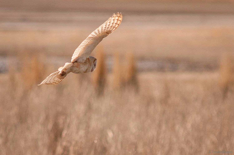 Barn Owl by Jake VanderHoeven