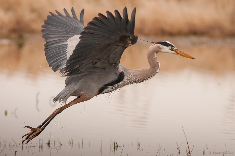Great Blue Heron - Wings Up by Jake VanderHoeven
