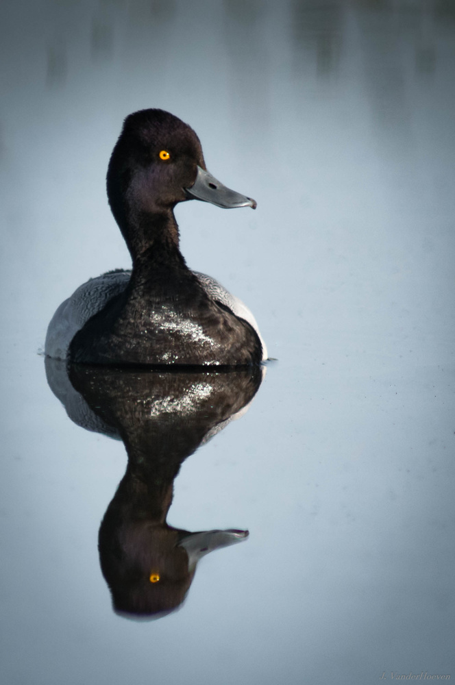 Scaup by Jake VanderHoeven