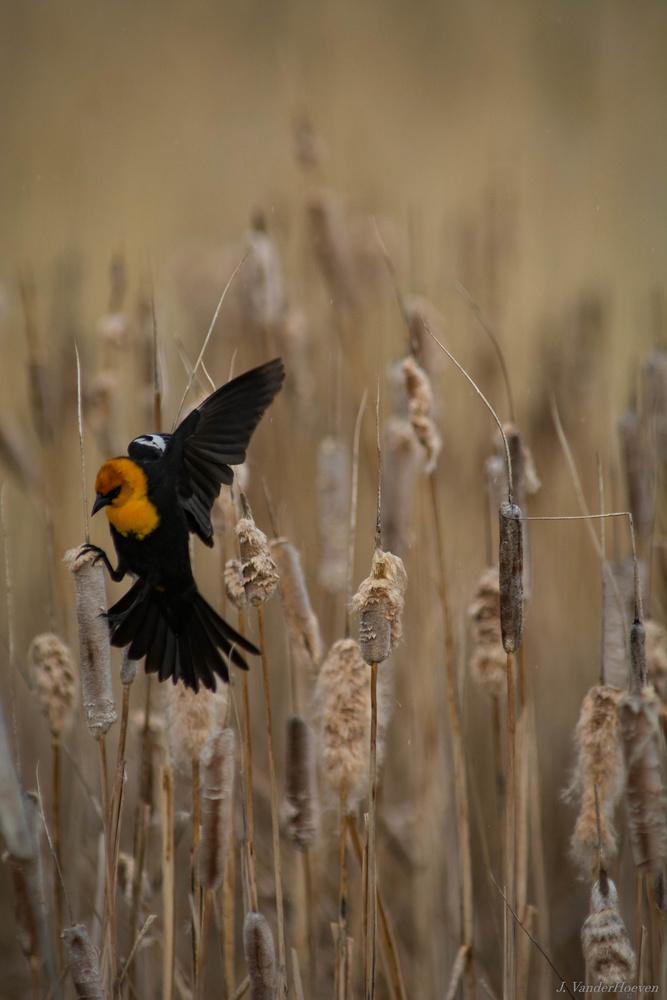 Reed Hopping by Jake VanderHoeven