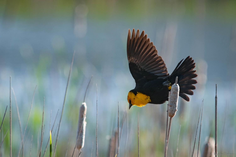 Morning Blackbird by Jake VanderHoeven