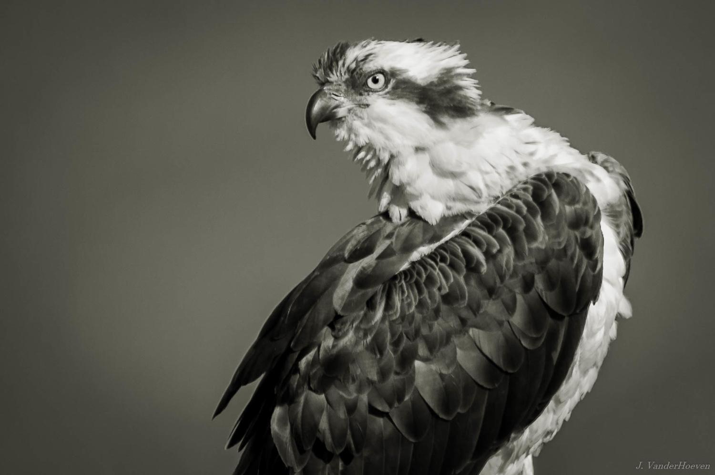Fish Hawk by Jake VanderHoeven