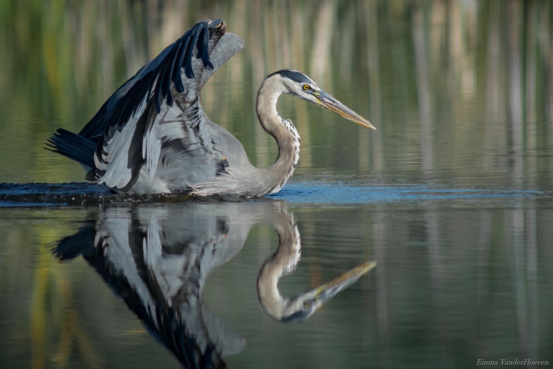 Great Blue Heron by Jake VanderHoeven
