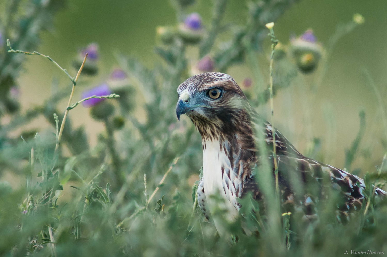 In the Thistles by Jake VanderHoeven
