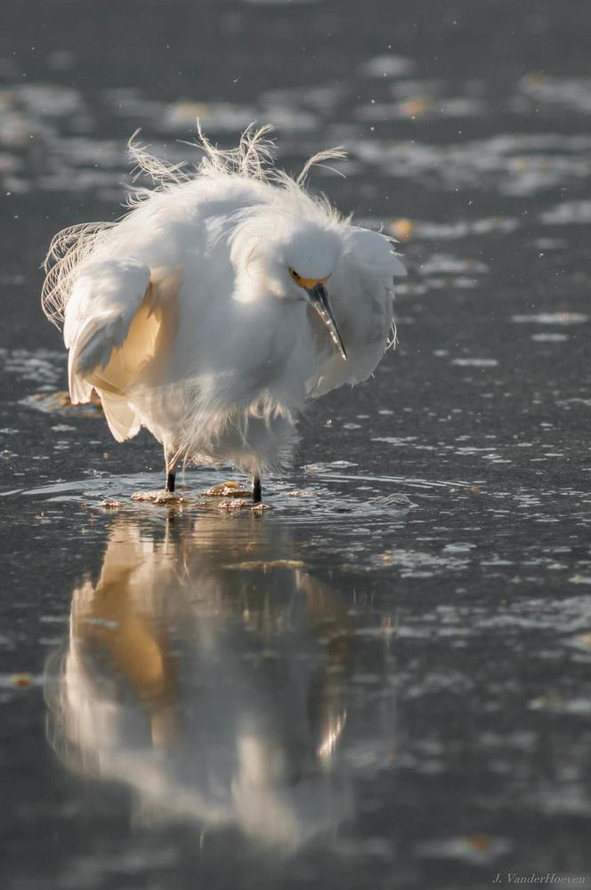 Snowy Egret by Jake VanderHoeven