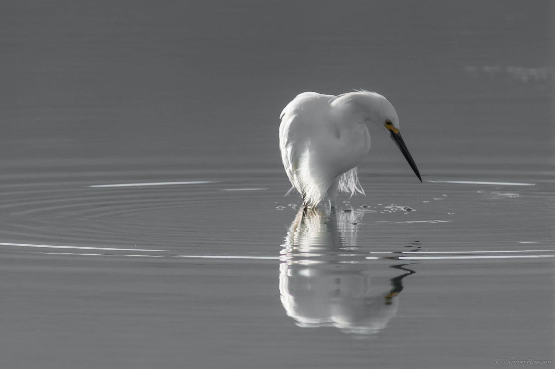 Backlight Reflection - Snowy Egret by Jake VanderHoeven